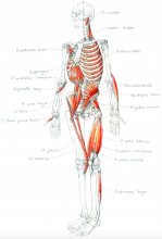Anatomische Kenntnisse ist Voraussetzung für Yoga | yogaguide